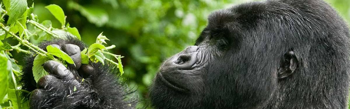 5 Days Gorilla Trekking
